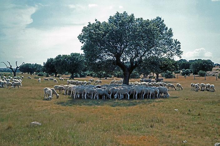 91072207 Schapen op de Meseta. Omg. Salamanca 1991 zw