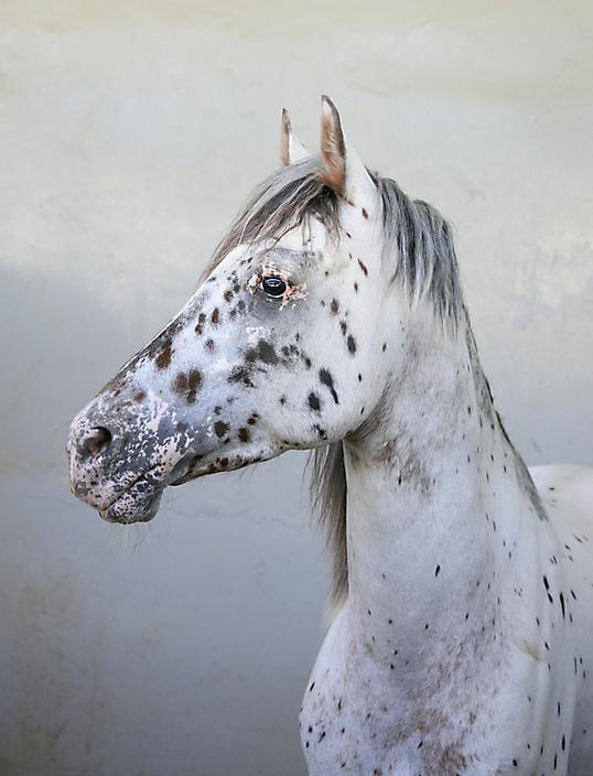 Paard in Muscat, Oman