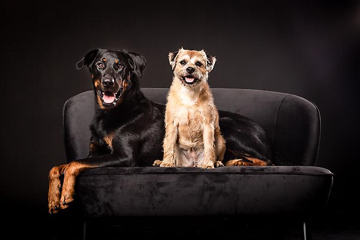 Beauceron en border terrier samen op een bankje tijdens een studio fotoshoot