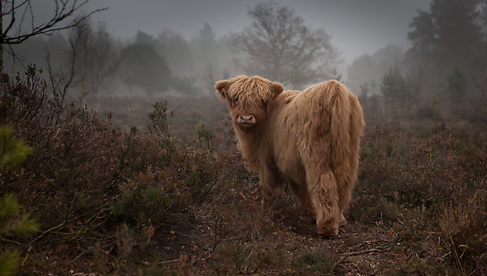Kalf Schotse Hooglander, Orvelte