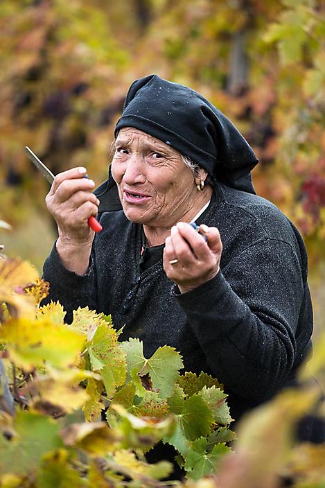 Italië-Cilento-druivenpluk