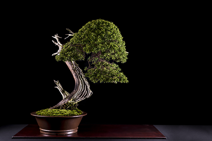 Juniperus-sabina
