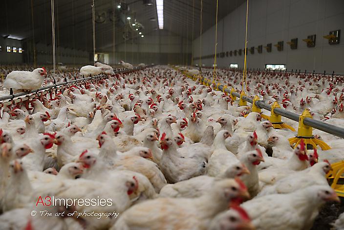 Agrarische fotografie  26000 bio-kuikens