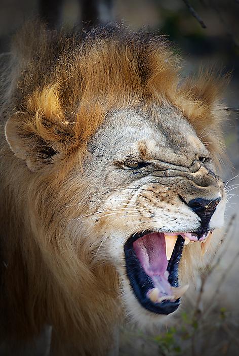 lion.Tanzania
