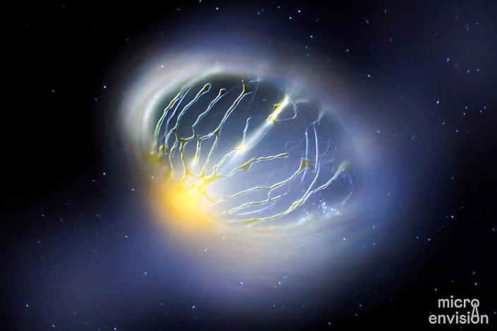 Pyrocystis noctiluca (bioluminescent algae)